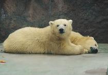 В Подмосковье приехали детеныши самых знаменитых белых медведей Удмуртии